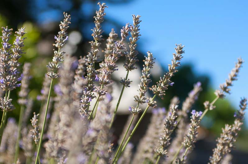 Close up of a lavender plant.