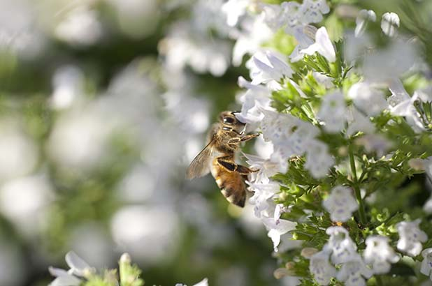 A bee on white flowers.